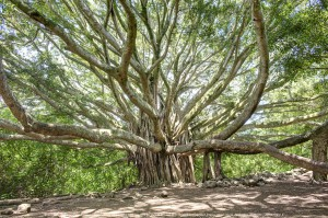 An ancient banyan tree on Maui, Hawaii